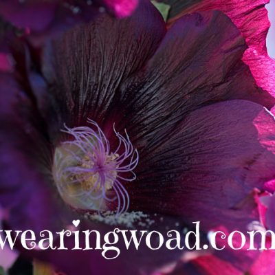 black hollyhock flower close up